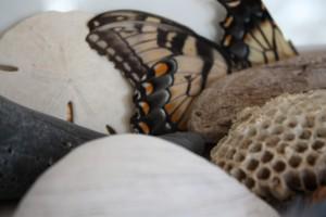 butterfly shell